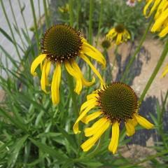 エキナセア・パラドクサは珍しい黄色い花を咲かせます