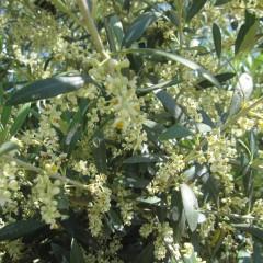 花が多いので花粉樹に使われるアルベキナ種