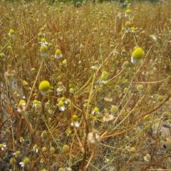 種も熟して来年のためにこぼれ落ちます