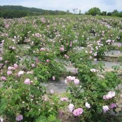 見渡す限りのローズの花