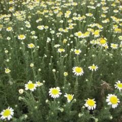 花や葉もカサカサ状態で張りがありません