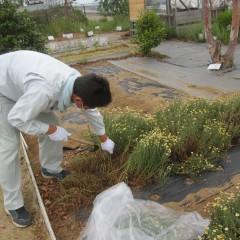 ローマン種は花だけでなく葉にも香りがあります