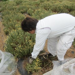 収穫はジャーマン種と違い茎ごと刈り取ります