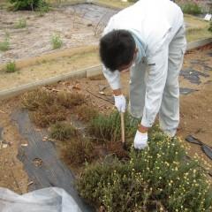 腰の痛くなる収穫も香りで癒されます