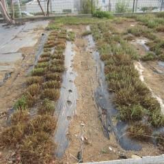 収穫の終わったローマン種の畑