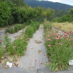エキナセア・アングスティフォリアが咲き始めました