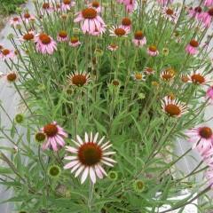 馬簾菊(バレンギク)という和名が付けられています