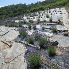 紫色が濃い早咲きのノウシ(濃紫)