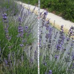 オカムラサキの花穂は50cm以上も伸びています