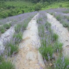 これから収穫するラベンダー畑