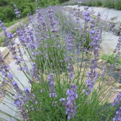 オカムラサキは花穂も長く収量があります