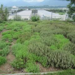収穫後の畑も雨が降るたびに新芽が増えてきました