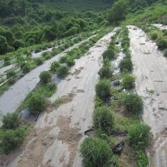 ラベンダー畑が生き生きしてきました