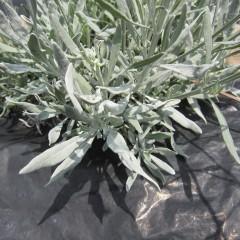学名のlatifoliaは「葉の広い」という意味です