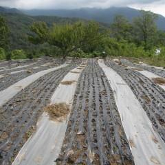 雨のほとんど降らなかった夏を乗り切ったジャーマンの畑