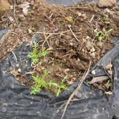小さくても葉の形は立派なカモマイル・ジャーマン