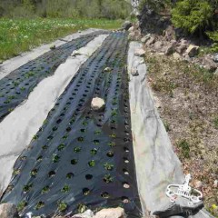 農場のアルベンシスミントもグングン育っています