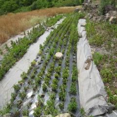 今年は空梅雨で畑はパサパサ
