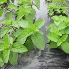 アルベンシスミントの新しい葉が生き生きとしています
