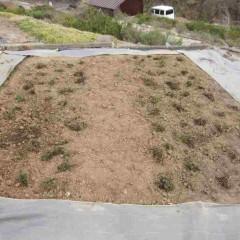 新しい畑に掘り取った地下茎を並べる