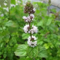ベルガモットミントは可愛らしい花穂が段々に別れてお団子のよう