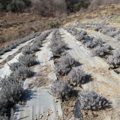 新年のラベンダー畑はモノトーンの世界