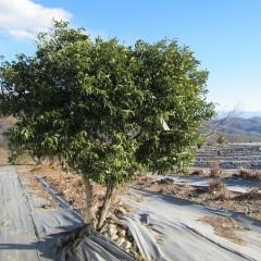 ユズは唯一屋外で越冬できる柑橘です
