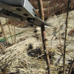 枝は外側を向いた芽の上1~2cmを斜めに切り落とします