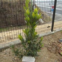 ローレルも一年中緑の葉を絶やしません