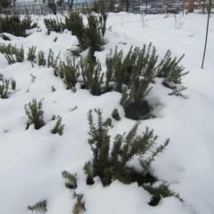 雪のマントを纏ったローズマリー
