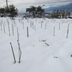 8日に降った雪で覆われたままの事務局前のローズ畑