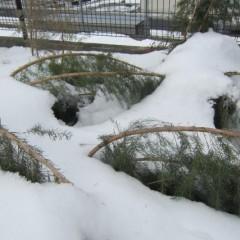 雪の重みで倒れたティートゥリー