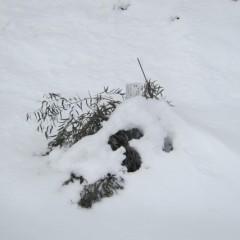 雪の重みに耐えかねたユーカリ・ラディアタ