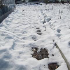 事務局前の雪はようやく溶け始めて来ました