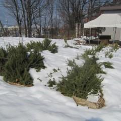 ローズマリーの大株は半分程雪から顔を出しました