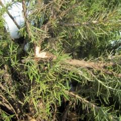 雪の重みで枝の折れたローズマリー