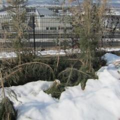 雪で倒れたティートゥリー
