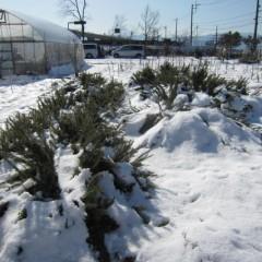 ローズマリーもまた雪の下です