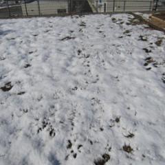 やっと雪融けしたカモマイル・ローマン畑が再び雪の下に