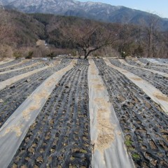 農場のカモマイル・ジャーマン畑は完全に雪融けしました