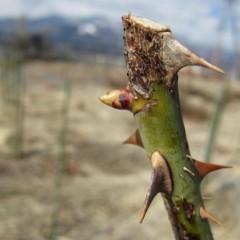 寒さから若葉を守っていた芽鱗を破って伸びて来ました