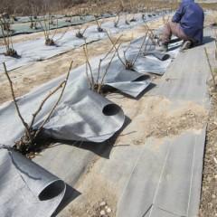 雑草が多いローズ畑に防草シートを張ります
