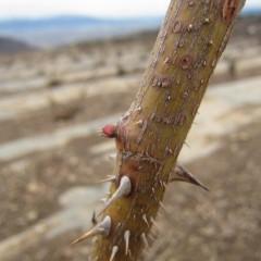 芽鱗を破った後で厳しい寒さに当たり先端が枯れて動きが止まっているようです