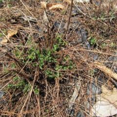 枯れた地上部の下から新芽が出ています