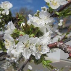 風媒花のサクランボは春風が吹き始めると満開になります