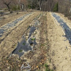 農場のスペアミント