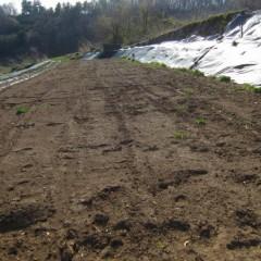 カモマイル・ジャーマンの新しい畑