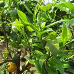 ベルガモットの新芽も大きくなっています