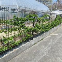 フェンスが緑色に見えるようになったつるバラ