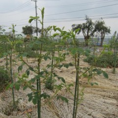 葉も大きく育ち枝も伸びています